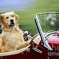 Golden Retriever In Car by John Daniels