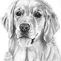 Golden Retriever Jessie Adult by Kate Sumners