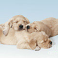 Golden Retriever Puppies Asleep by John Daniels