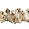 Golden Retriever Puppies, In A Line by John Daniels