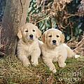 Golden Retriever Puppies In The Woods by John Daniels
