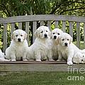 Golden Retriever Puppies by John Daniels