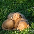 Golden Retriever Puppies Sleeping by Linda Freshwaters Arndt