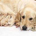 Golden Retriever Puppies Suckling by John Daniels
