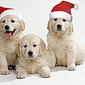 Golden Retriever Puppies With Christmas by John Daniels