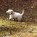 Golden Retriever Puppy by Andrea Anderegg