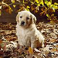 Golden Retriever Puppy Dog In Fallen by John Daniels