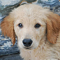 Golden Retriever Puppy  by Rames Ratyantarakor