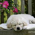 Golden Retriever Puppy Sleeping by John Daniels