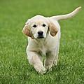 Golden Retriever Puppy by Waldek Dabrowski