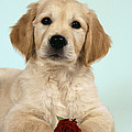 Golden Retriever Puppy With Rose by John Daniels