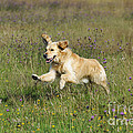 Golden Retriever Running by John Daniels