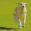 Golden Retriever Running On A Green by Rona Schwarz