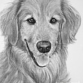 Golden Retriever Sketch by Kate Sumners