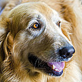 Golden Retriever Smile by Carolyn Marshall