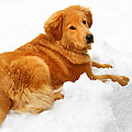 Golden Retriever Snowball by Christina Rollo