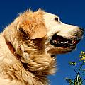 Golden Retriever by TouTouke A Y