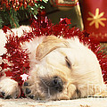 Golden Retriever Under Christmas Tree by John Daniels