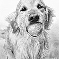 Golden Retriever With Ball by Kate Sumners
