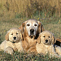 Golden Retriever With Puppies by Rolf Kopfle