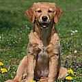Golden Retriver Puppy Sitting On A Meadow by Dog Photos