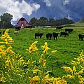 Golden Rod Black Angus Cattle  by Randall Branham