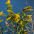 Golden Rods At Northside Park by Bill Swartwout Fine Art Photography