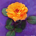 Golden Rose by Judi Bagwell