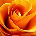 Golden Rose by Rhonda Barrett