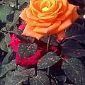 Golden Rose by Usha Shantharam