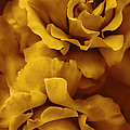 Golden Yellow Roses by Jennie Marie Schell