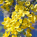 Golden Shower Tree - Cassia Fistula - Kula Maui Hawaii by Sharon Mau