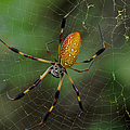 Golden Silk Spider 10 by J M Farris Photography