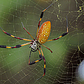 Golden Silk Spider 9  by J M Farris Photography