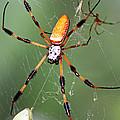 Golden Silk Spider Capturing A Stinkbug by Millard H. Sharp