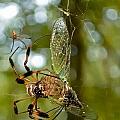 Golden Silk Spider by Rich Leighton