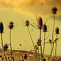 Teasels Reach For The Golden Sky by Gothicrow Images