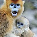 Golden Snub-nosed Monkey And Young China by Thomas Marent