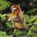 Golden Snub-nosed Monkey Male China by Thomas Marent