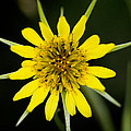Golden Star Flower Yellow Salsify Glacier National Park by Rich Franco