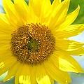 Golden Sunflower - 2013 by Maria Urso
