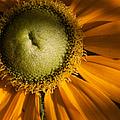 Golden Sunflower by Jeff Folger