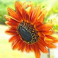 Golden Sunflower by Lizi Beard-Ward