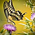 Golden Swallowtail by Cheryl Baxter