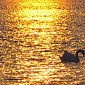Golden Swan by Terry DeLuco