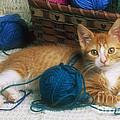 Golden Tabby Kitten by David Davis
