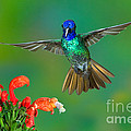 Golden-tailed Sapphire At Flower by Anthony Mercieca