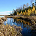 Golden Tamaracks by Sandra Updyke