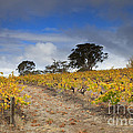 Golden Vines by Mike  Dawson