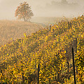 Golden Vineyard And Tree by Davorin Mance